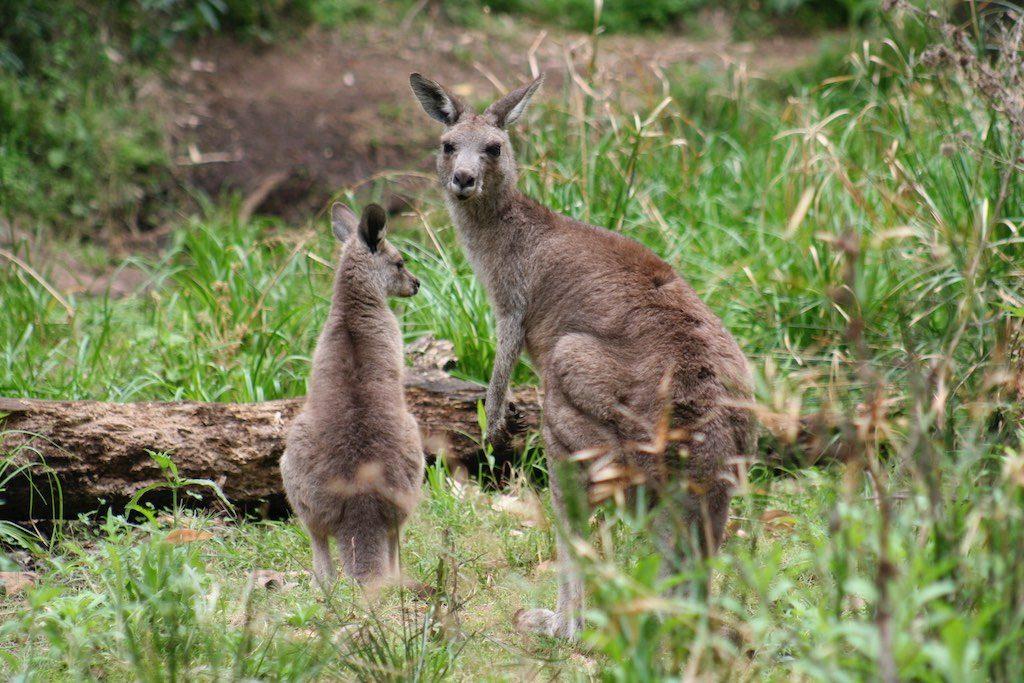 Pets require quarantine in Australia