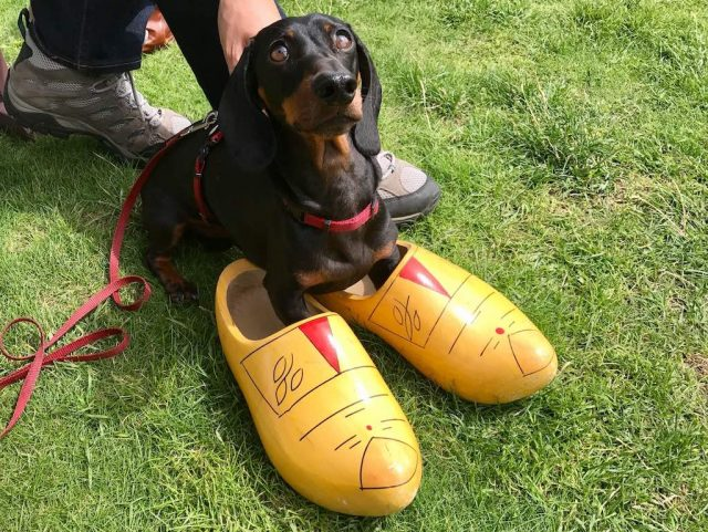 Dog Trying on Clogs