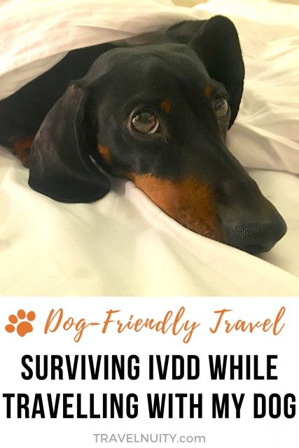 Surviving IVDD While Travelling with My Dachshund