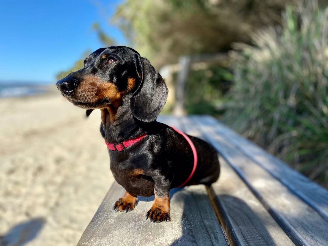 Bringing A Dog To Australia My Experience Travelnuity
