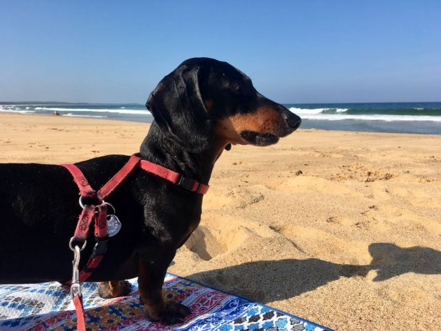 Dog friendly beaches Forster