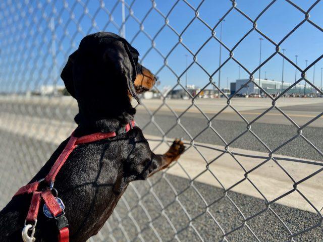Flying dogs Australia