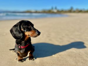 Cost of Bringing a Dog to Australia