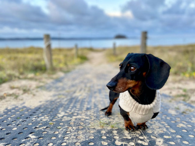 Dog on beach access path wearing a sweater